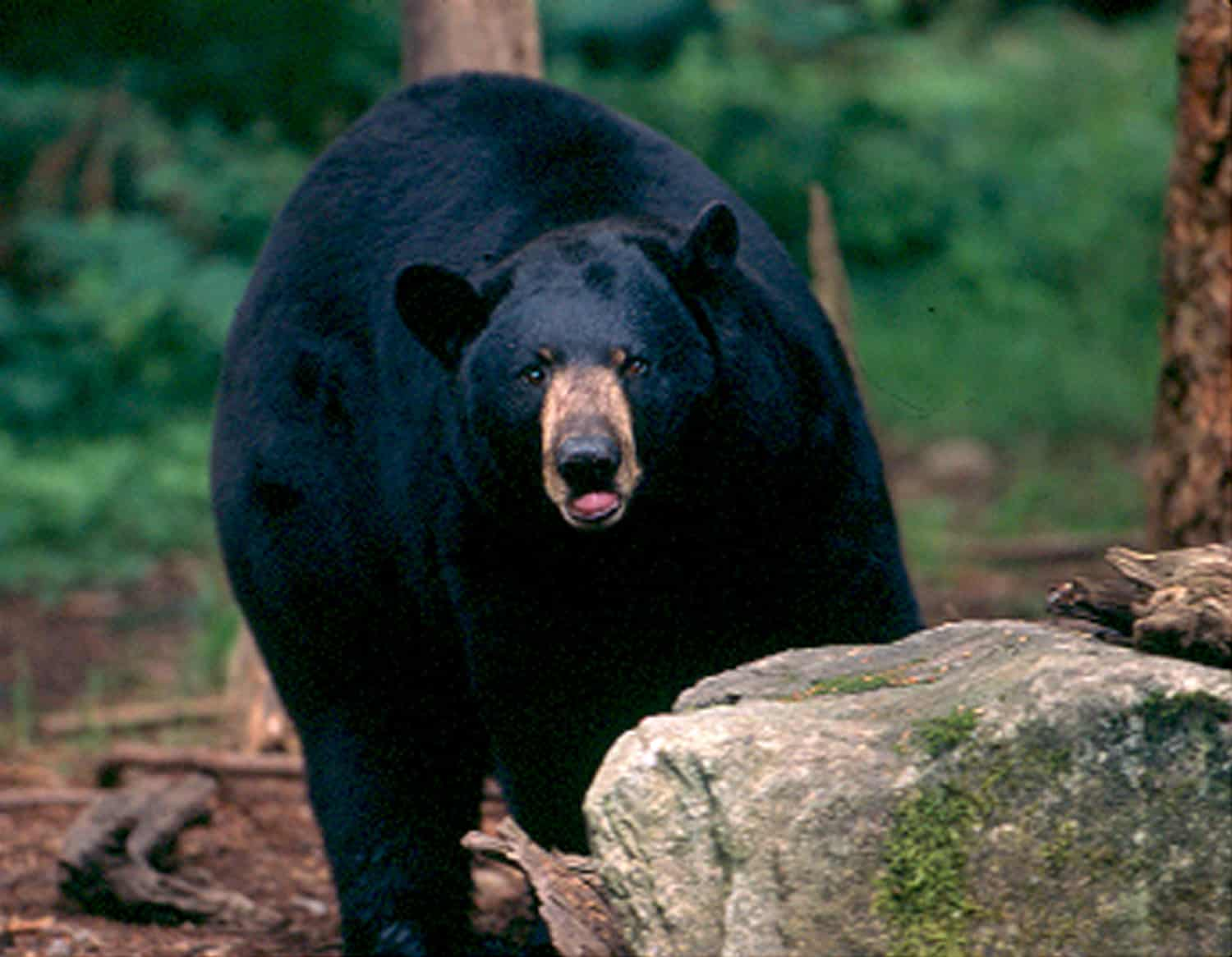 Black Bear at Northwest Trek and Wildlife Park